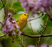 Male Yellow Warbler in Lilacs -  Ottawa, Ontario by Michael Cummings