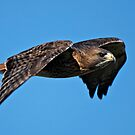 Red-tailed Hawk - Amherst Island, Ontario by Michael Cummings