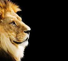The king of all animals - Lion by Tom Prokop