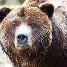 Wild Grizzly Bear Portrait by Tom Prokop