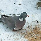 Wood Pigeon by Robert Abraham