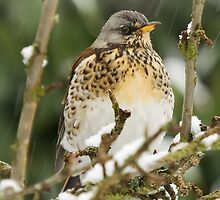 Fieldfare by Roantrum