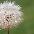 Dandelion. by rhystopherD