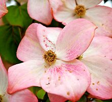 Dogwood in Pink... by Carol Clifford