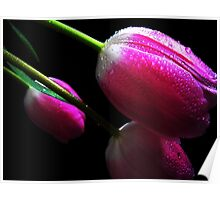 Trio Tulips. Poster