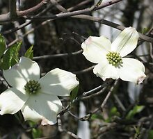 Dogwood Blooms 2 by art2plunder