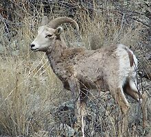 Young Bighorn Ram by © Betty E Duncan ~ Blue Mountain Blessings Photography