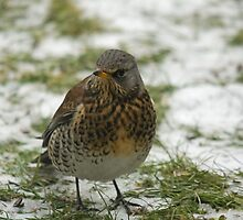 Fieldfare by Jon Lees