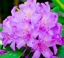 Rhodedendron by Jim Terry