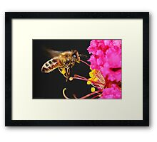 Honey Bee in Flight Framed Print
