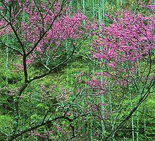 REDBUD TREE,SPRING by Chuck Wickham