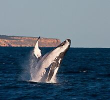 humpback against the Kalbarri cliffs by kalbarririch