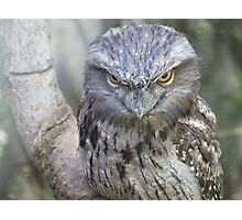 Tawny Frogmouth 2 Photographic Print