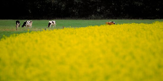 Cows in the mustard fields by Peter Voerman