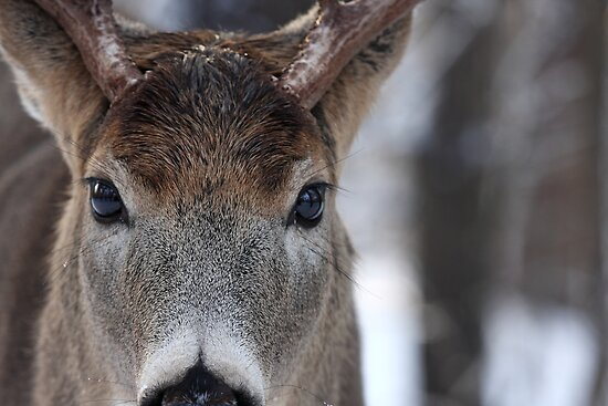 White-tailed Deer Buck up close and personal by Jim Cumming