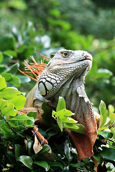 Red Iguana II by D R Moore