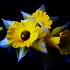 Daffodils by NatureGreeting Cards ccwri