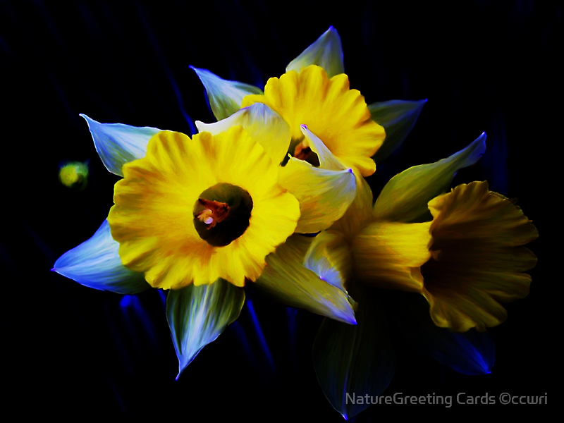 Daffodils by NatureGreeting Cards ©ccwri