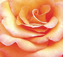 Apricot Rose by Kerryn Benbow