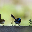 The hen-pecked husband (Superb Blue Fairy Wren) by BronReid