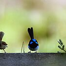 Hen-pecked husband ii (Superb Blue Fairy Wren) by BronReid
