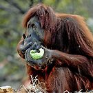 Orangutan at Melbourne Zoo by Tom Newman
