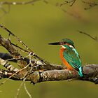 Kingfisher on a Tree by kernuak