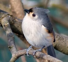 Tufted Titmouse by KathleenRinker