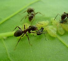Ants of a Leaf. by gzed