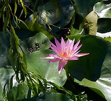 Pink Water Lily Flower by edesigned