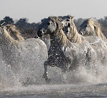 Camargue White Horses by Norfolkimages