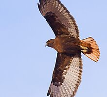 011710 Dark Morph Red Tailed Hawk by Marvin Collins