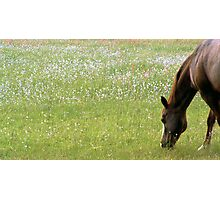 Horse in Field of Flowers Photographic Print