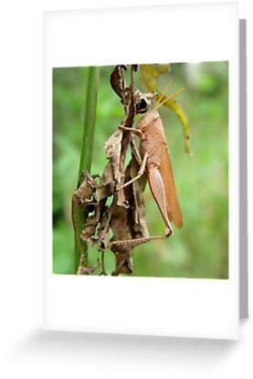 Carolina Locust on Dry Spanish Needles by May Lattanzio