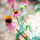 Purple Cone Flower by NatureGreeting Cards ccwri