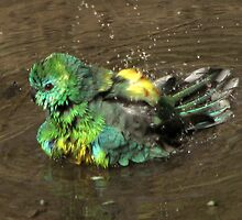 Budgie shaking feathers by Leoni South
