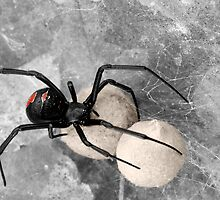 Redback Spider Handcoloured B&W by MadDog7