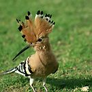 African Hoopoe by Jo McGowan