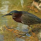 Another Green Heron by Robert Abraham