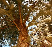 Mossy cypress tree by David Mustin