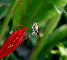 Heavenly Hummingbird on Heliconia by DARRIN ALDRIDGE