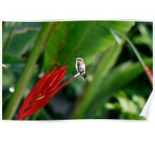 Heavenly Hummingbird on Heliconia Poster