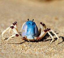 Soldier crabs (Mictyris longicarpus?) With Angry Face! by Normf