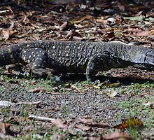 Lace Monitor - NSW by CasPhotography