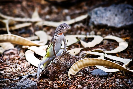 Zebra Tailed Lizard by Daniel J. McCauley IV