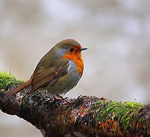 Robin Red Breast by Clive  Rees