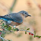 Bluebird in Holly  by Bonnie T.  Barry