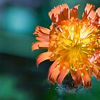 Orange Hawk Weed by AmyCK