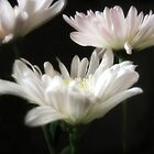Glowing White Chrysanthemums 9 by Christopher Johnson