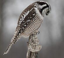 Northern Hawk Owl checks his claws by Jim Cumming